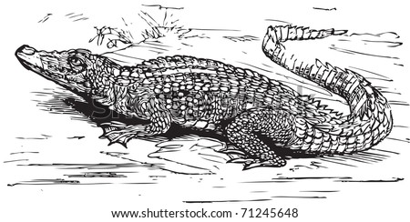 Nile Crocodile Black White Stock Vector Stock Photos as well  on mercedes marlene