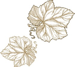 Engraving style vector illustration of grape leaves isolated on white background.