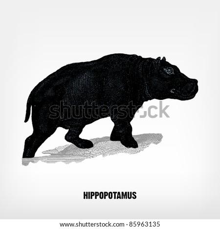 Engraving vintage Hippopotamus from