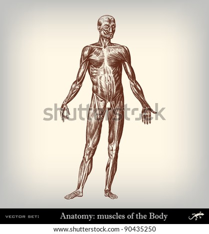 "Engraving vintage muscles body from ""The Complete encyclopedia of illustrations"" containing the original illustrations of The iconographic encyclopedia of science, literature and art, 1851. Vector."