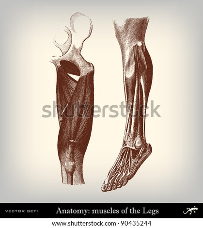 "Engraving vintage muscles leg from ""The Complete encyclopedia of illustrations"" containing the original illustrations of The iconographic encyclopedia of science, literature and art, 1851. Vector."