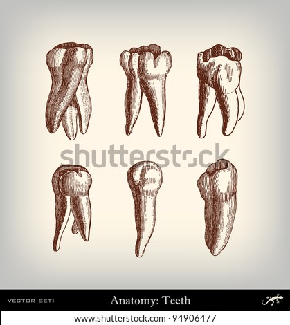 "Engraving vintage tooth set from ""The Complete encyclopedia of illustrations"" containing the original illustrations of The iconographic encyclopedia of science, literature and art, 1851. Vector."