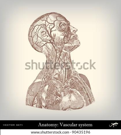Engraving vintage vascular system from