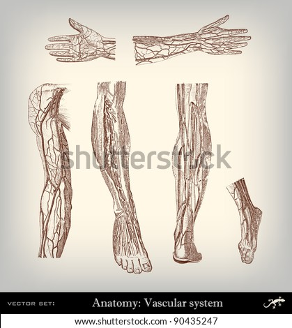 Engraving vintage vascular system from 'The Complete encyclopedia of illustrations' containing the original illustrations of The iconographic encyclopedia of science, literature and art, 1851. Vector. Stock photo ©