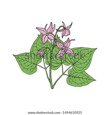Epimedium (Horny Goat Weed, yin yang huo). Herb, used in Chinese medicine. Hand drawn vector illustration in sketch style. Stockfoto ©