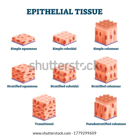 Epithelial tissue with labeled squamous, cuboidal and columnar examples vector illustration. Educational simple, straitified and trasitional comparison scheme in anatomical classification collection. Foto d'archivio ©