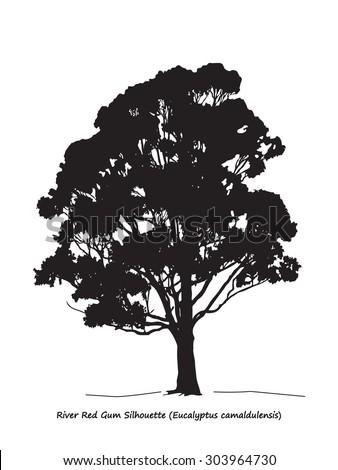 eucalyptus camaldulensis or