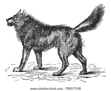 stock-vector-eurasian-wolf-canis-lupus-l