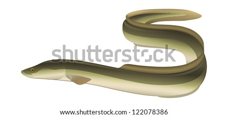 "European Eel (Anguilla anguilla) Salt/Freshwater Fish. ""Full compatible Vector. Created with CMYK gradients."""