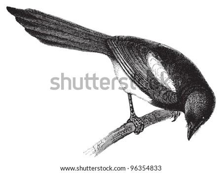 european magpie  pica caudata