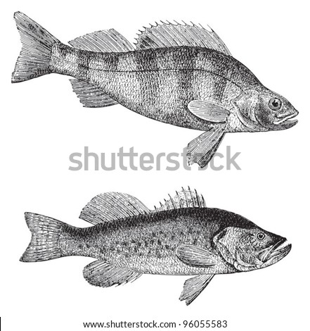 European perch (Perca fluviatilis) above and Growler (Grystes salmoides) under / vintage illustration from Meyers Konversations-Lexikon 1897