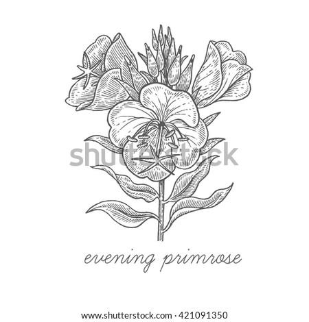 evening primrose flower vector