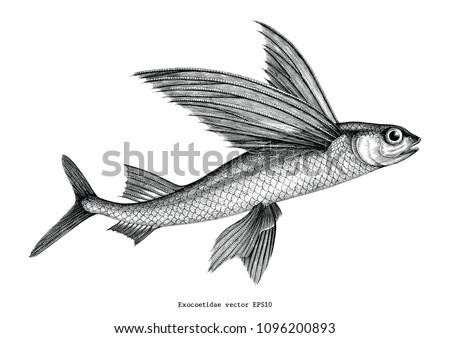 Exocoetidae or Flying fish hand drawing vintage engraving illustration