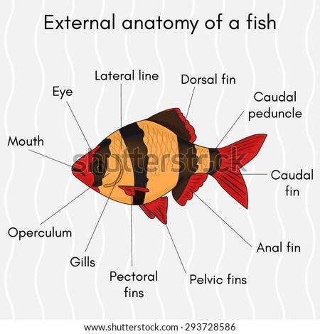 Royalty-free Illustrator body of clown fish #259548578 Stock Photo ...