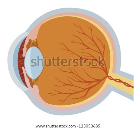 Anatomy of the eye illustration of parts of the human eye