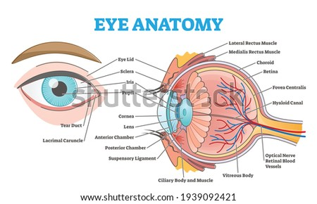 Eye anatomy with labeled structure scheme for human optic outline diagram. Educational physiological and medical sight infographic with side and front view for retina lens study vector illustration. Zdjęcia stock ©