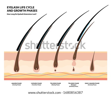 Eyelash Life Cycle and Growth Phases. How Long Do Eyelash Extensions Stay On. Macro, Selective Focus. Guide. Infographic Vector Illustration