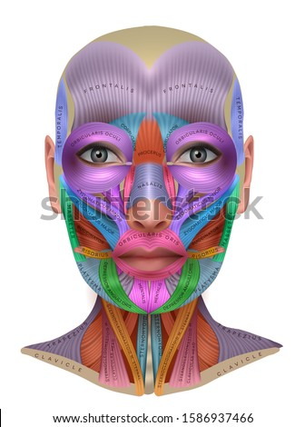 Face muscles anatomy, each muscle pair in different color and with name on it, detailed bright anatomy info poster isolated on a white background ストックフォト ©