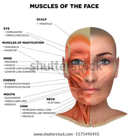 Facial and neck muscles of the female, half of the face muscles and half skin, each muscle with name on it, detailed bright anatomy isolated on a white background