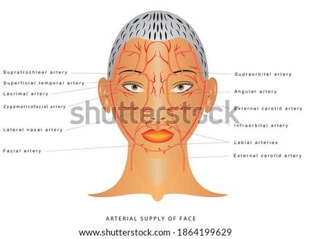 Facial arteries. Arteries of head Facial artery Branch of external carotid artery. The arterial supply of the face. Arterial supply to the forehead, nose and lips. Сток-фото ©