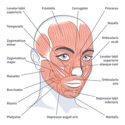 Facial muscles of the female. Detailed bright anatomy isolated on a white background vector illustration