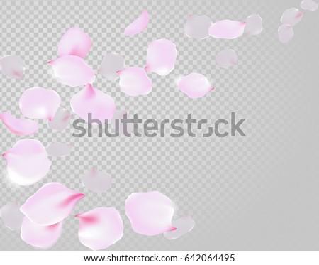Falling rose petals soft delicate pink blossom on transparent background. Sakura cherry flying flowers. 3d realistic design. Vector illustration art