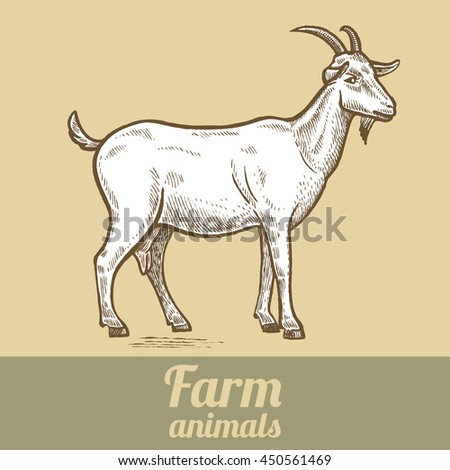 Farm animal goat. Colored print. Style vintage engraving. Vector illustration of a series - farm animals isolated. Template for creating packaging design farm products and signage natural food stores.