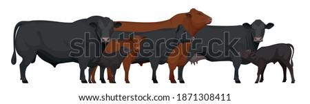Farm animals - Herd of Bull, Cow, Calf. Set Aberdeen Angus - The Best Beef Cattle Breeds. Vector Illustration.