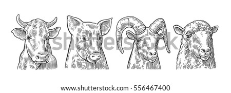 Farm animals icon set. Pig, cow, sheep and goat heads isolated on white background. Vector black vintage engraving illustration for menu, web and label. Hand drawn in a graphic style.
