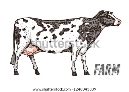 Farm cattle bull or cow. natural milk and meat. Different breeds of Farm domestic animal. Engraved hand drawn monochrome sketch. Vintage line art.