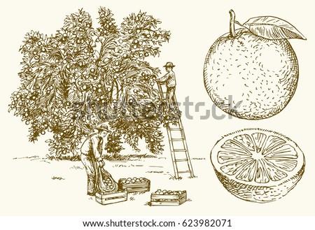 farmer harvesting oranges in an ...