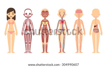Female body anatomy chart: skeletal, muscular, circulatory, nervous and digestive systems. Flat cartoon style. Stock photo ©