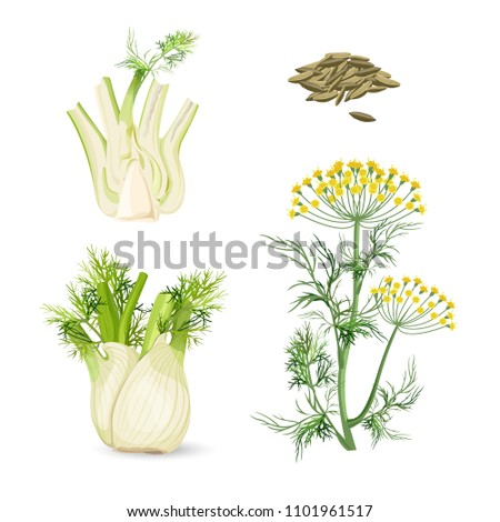 Fennel flowering plant perennial herb with yellow flowers, feathery leaves Foto stock ©