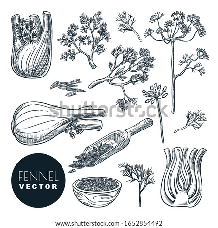 Fennel plant root, leaves and seeds. Vector hand drawn sketch illustration. Natural spice herb, cooking ingredients, isolated on white background. Foto stock ©