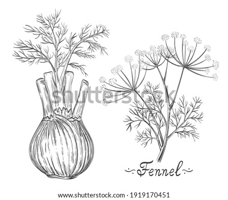 Fennel spice herb root and stem botanical set. Herb bulb. Dill stalk with leaves. Fresh natural healthy vegetarian food. Medical plant. Cooking ingredient for culinary menu. Hand drawn sketch vector   Foto stock ©