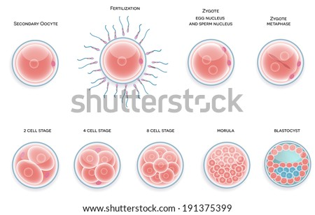 Fertilized cell development. Stages from fertilization till morula cell.