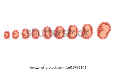Fetal growth. Development of the fetus in the mother's womb until the birth of a newborn baby. Stockfoto ©