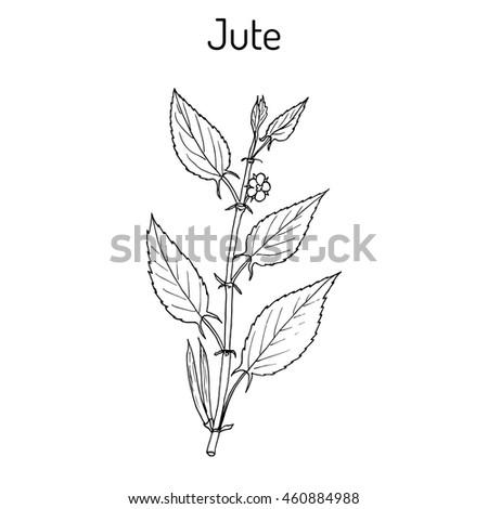 fiber crop jute (corchorus olitorius), or nalta-jute, tossa-jute