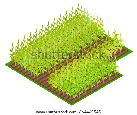 field with growing corn crops