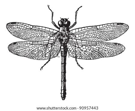fig 1. dragonflies  vintage...