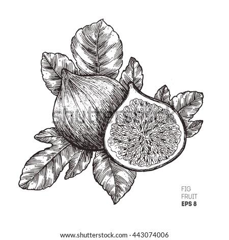 fig fruit illustration