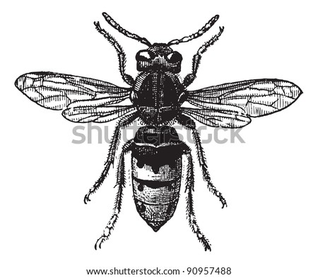 Fig 12. Wasp,  vintage engraved illustration. Wasp Isolated on white. Dictionary of words and things - Larive and Fleury - 1895.