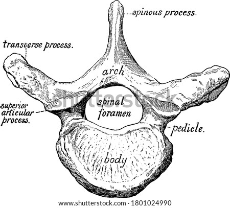 Figure of one vertebra, there are 33 vertebrae that interlock with each other to form the spinal column, vintage line drawing or engraving illustration. Stock photo ©