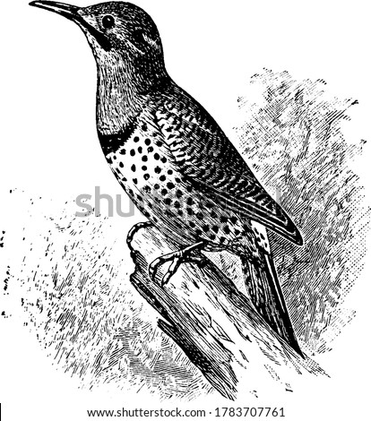figure shows a northern flicker, Flickers appear brownish overall with a black patch below the neck often visible when perched, vintage line drawing or engraving illustration. Foto stock ©