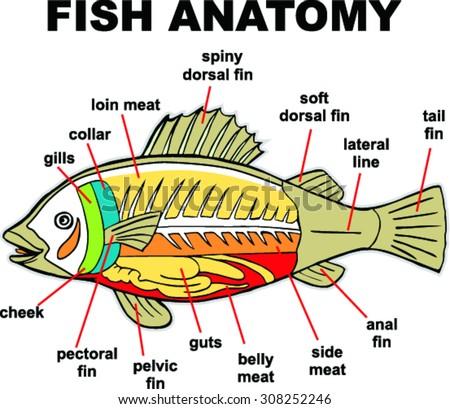 Royalty Free Anatomy Of Fish 536509063 Stock Photo Avopix