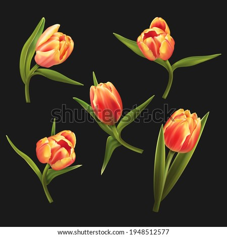 five colorful tulips isolated