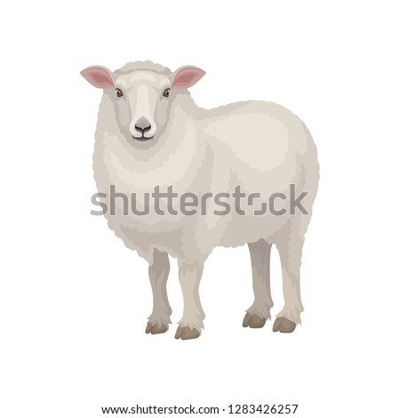 Flat vector design of cute East Friesian sheep. Domestic animal with thick woolly coat and pink ears. Livestock farming