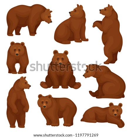 Flat vector set of large bear in different poses. Wild forest creature with brown fur. Cartoon character of big mammal animal