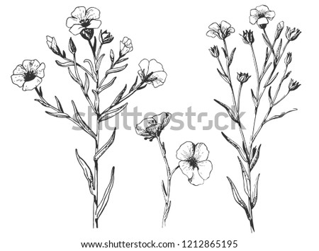 Flax plant and flower. Botany Set.  Vintage flowers. Black and white illustration in the style of engravings. retro. Botanical flowers. Herbal  Herbarium.  #1212865195