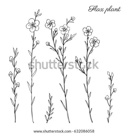 flax plant  wild field flower